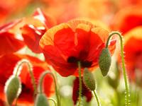 V8W46  Poppies, Norfolk, UK
