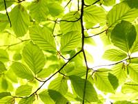 V8BL1  Beech Tree Leaves in Spring