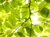 V8BL1  Beech Tree Leaves in Spring