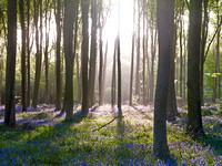 V7F21  Bluebells, Micheldever Wood, Hampshire, UK