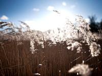 V4D6 Reeds